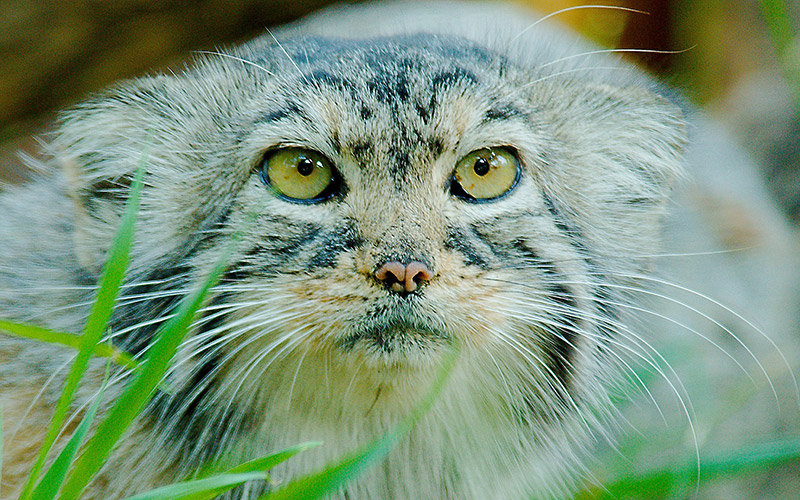 PALLAS CAT (CREDIT JOSH MOORE).jpg